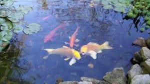 Alpharetta Koi Pond Installation